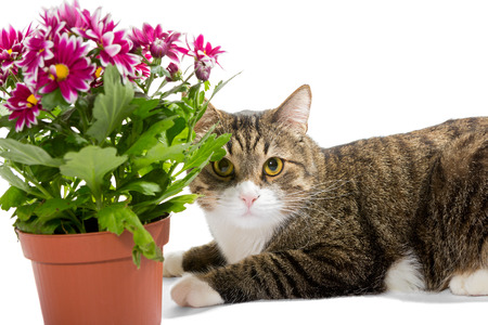 plant pot: Grey cat and a bouquet of chrysanthemums, isolated on white Stock Photo