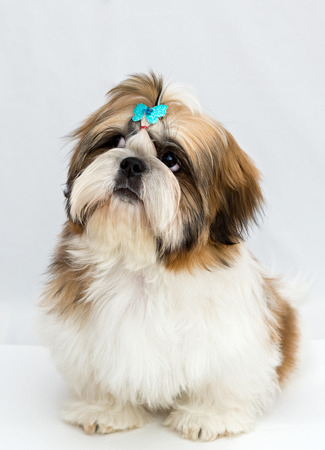 shihtzu: Shaggy puppy Shih Tzu sits on a white background