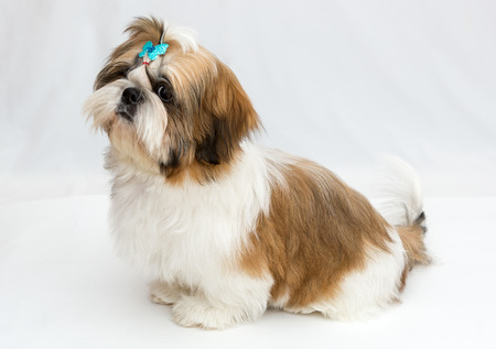tzu: Shaggy puppy Shih Tzu sits on a white background