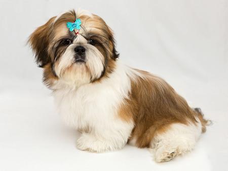 shih tzu: Shaggy puppy Shih Tzu sits on a white background