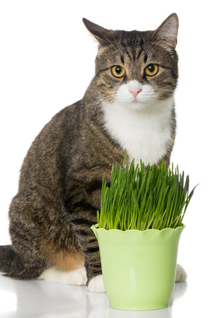 Grey cat and green grass, isolated on white photo