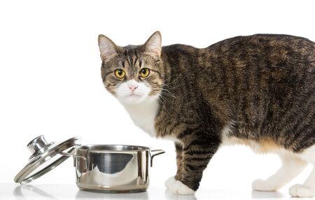 Gray,domestict cat steals food from the pot,  on white background