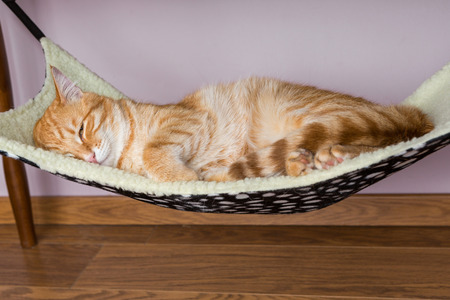 carroty: Calm red cat is sleeping in the hammock