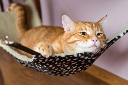 carroty: Happy ginger cat lying in a fur hammock