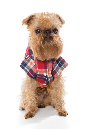 griffon bruxellois: Dog breed Brussels Griffon in flannel shirt, isolated on white.