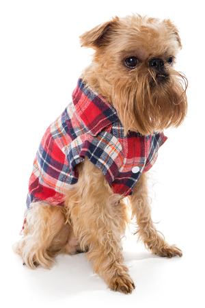 flannel: Dog breed Brussels Griffon in flannel shirt, isolated on white.