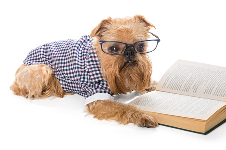 brussels griffon: Serious dog breed Brussels Griffon in glasses reading a book, isolated on white