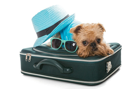 brussels griffon: Dog breed Brussels Griffon and a travel suitcase, isolated on white Stock Photo