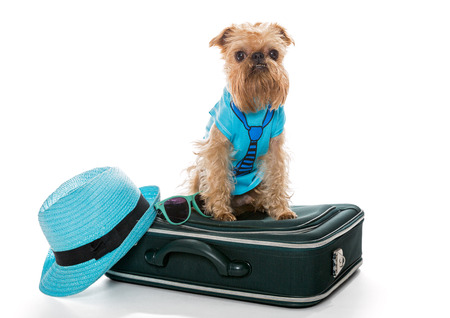 griffon bruxellois: Dog breed Brussels Griffon and a travel suitcase, isolated on white Stock Photo