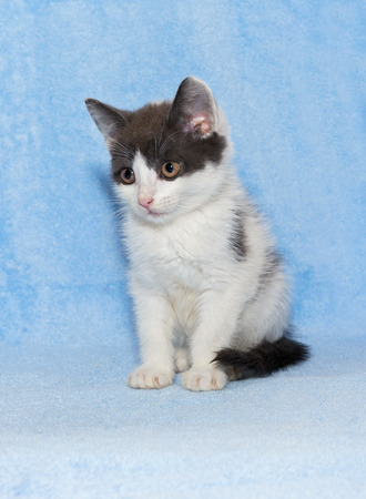 calico whiskers: Little kitten calico kitten on a blue background Stock Photo