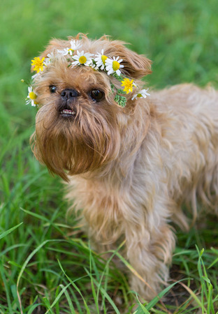 griffon bruxellois: Dog breed the Brussels Griffon with a wreath of daisies on her head
