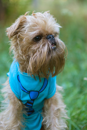 brussels griffon: Portrait Dog breed the Brussels Griffon in the Park Stock Photo