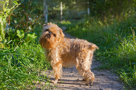 brussels griffon: Dog breed Brussels Griffon walks in the Park along the path