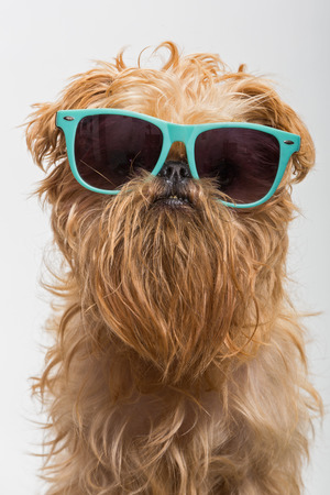 brussels griffon: Dog breed Brussels Griffon in dark glasses