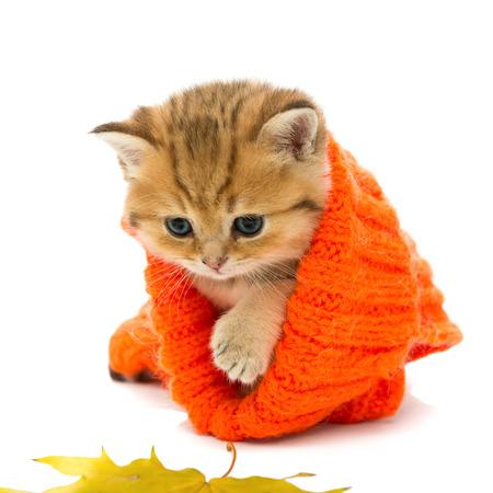 Kleine Kätzchen in einem gestrickten Pullover und trockene Blätter, die britische Rasse, aus rotem Marmor Farbe. Das Alter von einem Monat. Isoliert auf weiß
