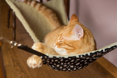 carroty: Happy ginger cat sleep in a fur hammock