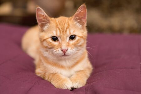red bed: Orange kitten lie on the red bed