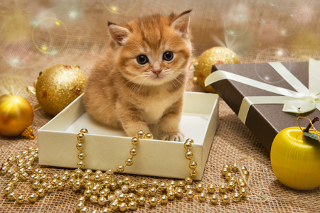 red animal: Small orange kitten of the British breed, sits in a gift box with Christmas decoration