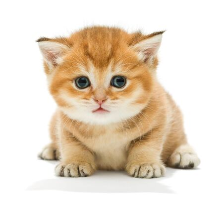 sitting small: Small orange kitten of the British breed, isolated on white Stock Photo