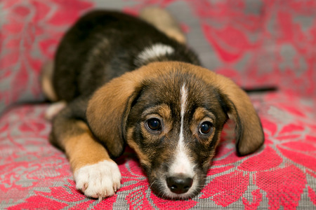 coverlet: Tiny and tender puppy lying on the coverlet of the sofa Stock Photo