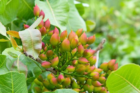 Ripening the fruit of the pistachio tree