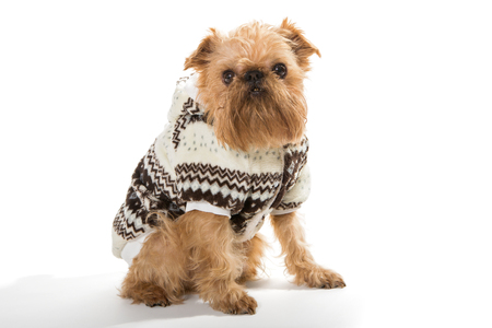 brussels griffon: Dog breed Brussels Griffon in a warm jacket, isolated on a white