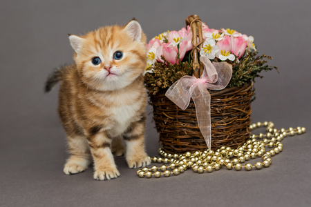 petites fleurs: Ginger kitten, a breed of British marble, stands near the basket of flowers Banque d'images