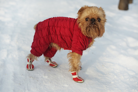 brussels griffon: Dog breed Brussels Griffon walks in winter clothes and shoes