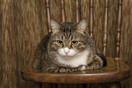 grey cat: Home, grey cat rests comfortably on a wooden chair
