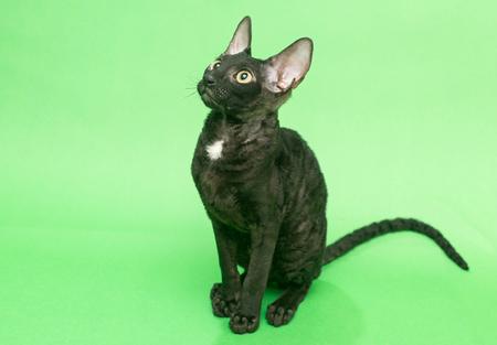 cornish rex: Black cat Cornish Rex on a green background