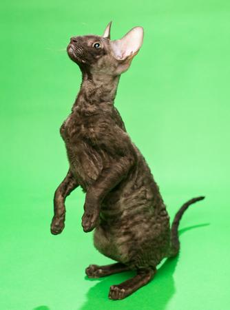 cornish rex: Brown cat breed Cornish Rex on a green background Stock Photo