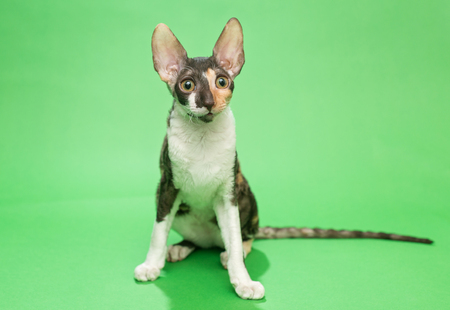 cornish rex: Young cat breed Cornish Rex sits on a green background