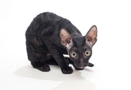 cornish rex: Black cat Cornish Rex on a white background, not isolated