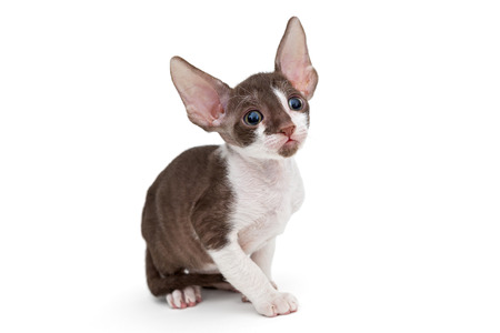 cornish: Small kitten Cornish Rex, isolated on white