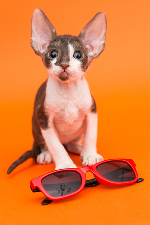 cornish rex: Little kitten Cornish Rex and sunglasses on orange background Stock Photo
