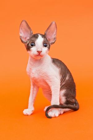 cornish rex: Kitten Cornish Rex with big ears, bright orange background Stock Photo
