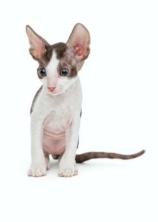 cornish rex: Small kitten Cornish Rex, isolated on white