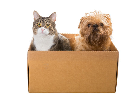 griffon bruxellois: Cat and the dog sitting in a cardboard box, isolated Stock Photo