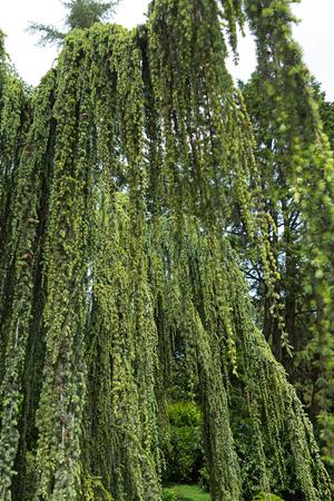 coniferous tree: Cedar weeping - Cedrus atlantica, coniferous tree Stock Photo