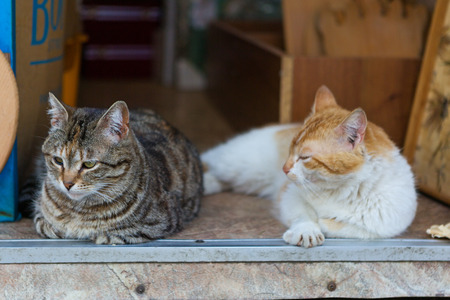 doorstep: Two street cat basking on the doorstep of the shop