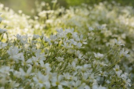 cerastium tomentosum: Lawn with blooming white Cerastium tomentosum