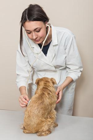 griffon bruxellois: Young women doctor examines a small dog Griffon