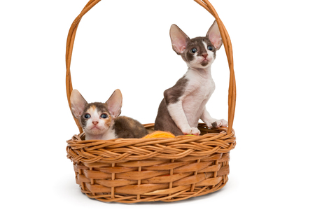 cornish rex: Kittens the breed Cornish Rex in a basket, isolated on white Stock Photo