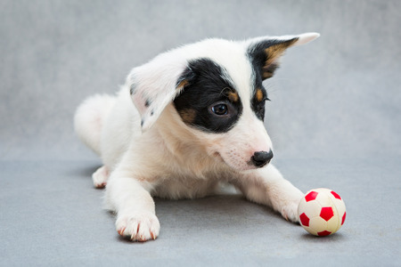 spotted fur: Small white puppy and a toy soccer ball Stock Photo