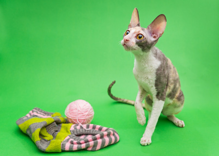 Cat breed Cornish Rex and the subjects of knitting, on a green background Stock Photo