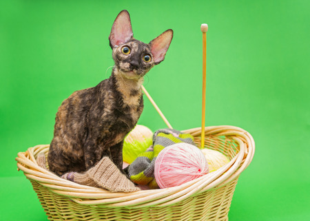 cornish rex: Cat Cornish Rex in the basket of knitting, on a green background