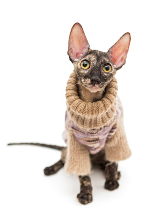 cornish rex: Cat breed Cornish Rex  in a warm sweater, isolated no white