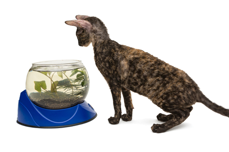 cornish rex: Cat breed Cornish Rex and aquarium, isolated on white