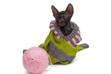 cornish rex: Portrait of a kitten breed Cornish Rex  in a sweater