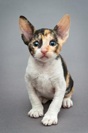 cornish rex: Small  kitten Cornish Rex cat on gray background